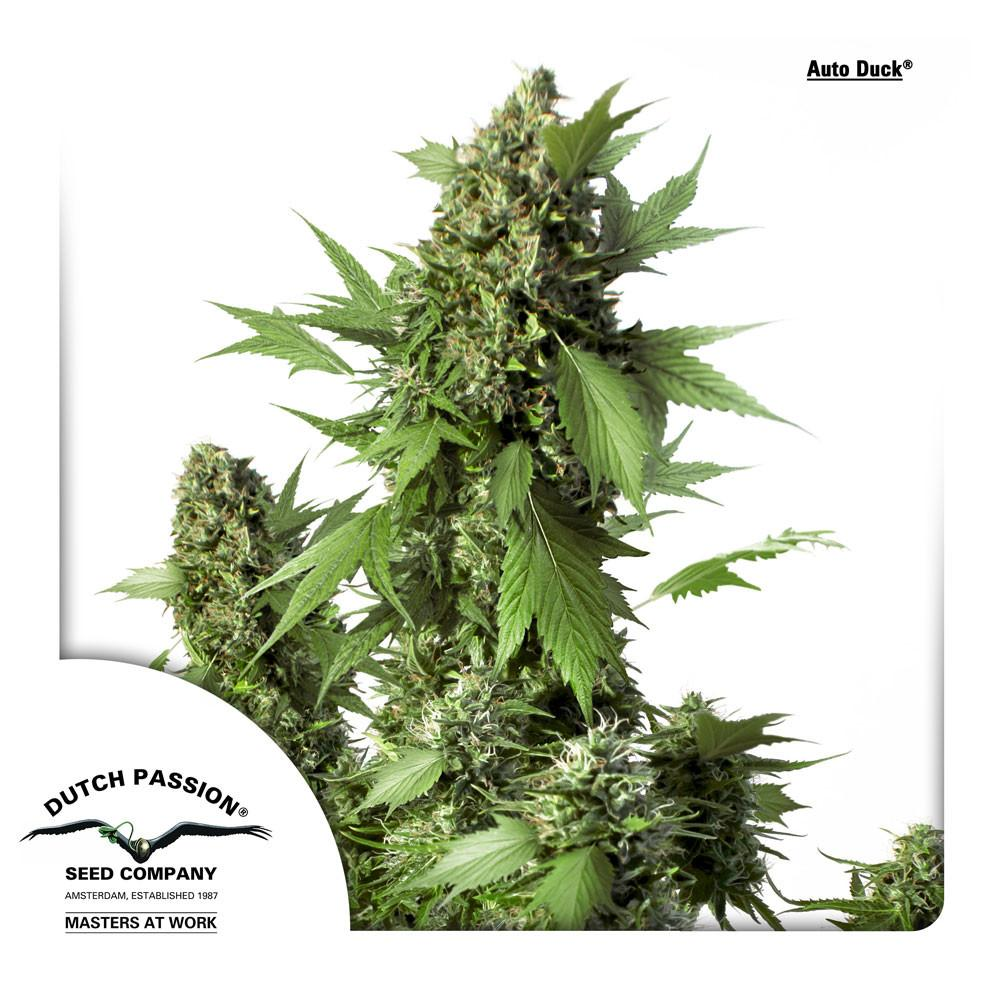 Dutch Passion Duck Auto Feminised Marijuana Seeds