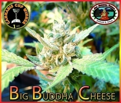 Cheese Marijuana Seeds