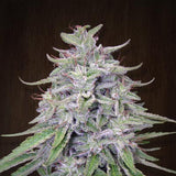 Bangi Haze Marijuana Seeds