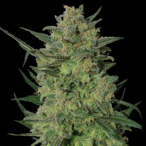 Big Bud Super Skunk CBD