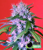 Berry Bomb Marijuana Seeds