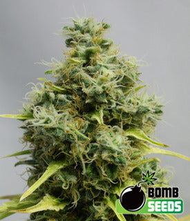 big bomb marijuana seeds