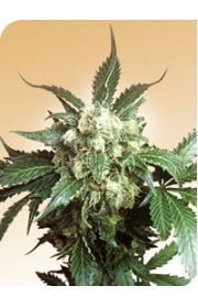 Black Domina Marijuana Seeds