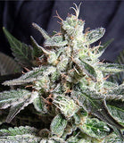 Black Jack Automatic Marijuana Seeds