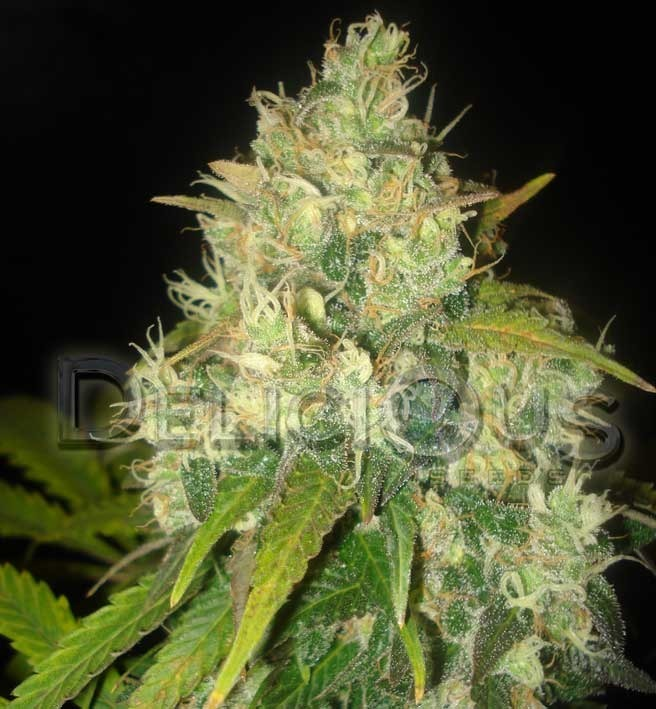 Black Russian Marijuana Seeds