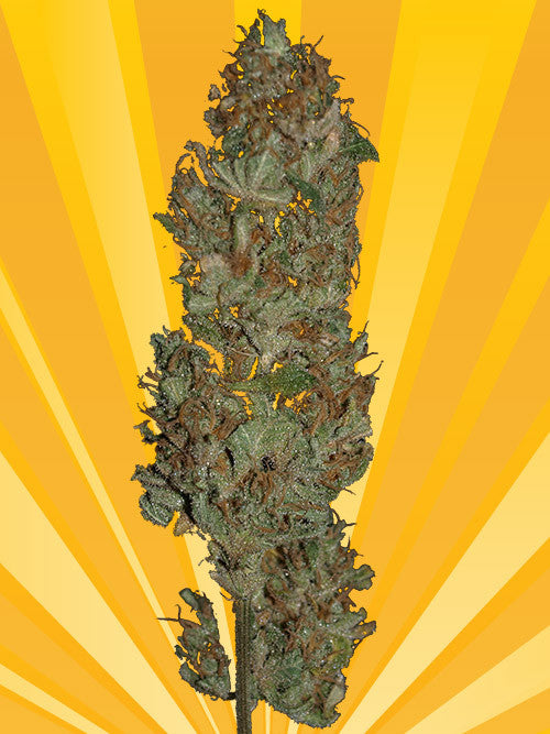 Blue Angel Marijuana Seeds