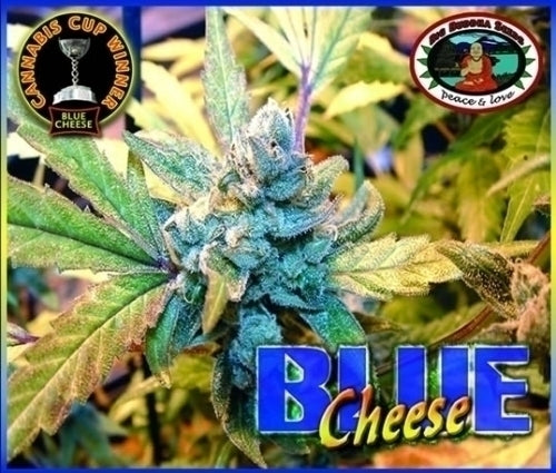 Blue Cheese Marijuana Seeds