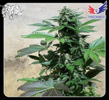 Blue Rhino Marijuana Seeds
