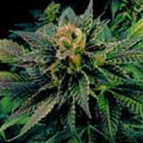 Blue Venom Marijuana Seeds