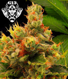 Blueberry Gum Marijuana Seeds