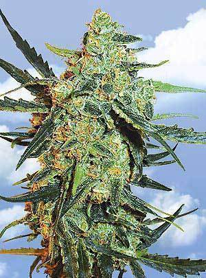 Blueberry Skunk Marijuana Seeds