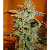 Bodhi Seeds - Page 2