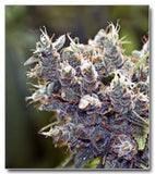 BubbleGummer Marijuana Seeds