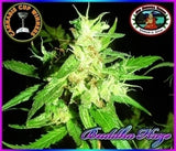 Buddha Haze Marijuana Seeds