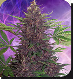 Purple Kush Automatic