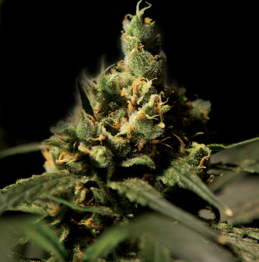 Citral Skunk Marijuana Seeds