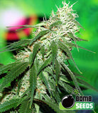 Buzz Bomb Marijuana Seeds