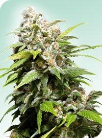 California Indica Marijuana Seeds