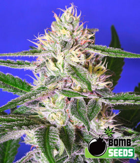 Cheese Bomb Marijuana Seeds