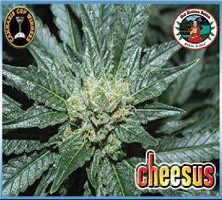 Cheesus Marijuana Seeds