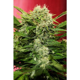 Chronic Ryder Marijuana Seeds