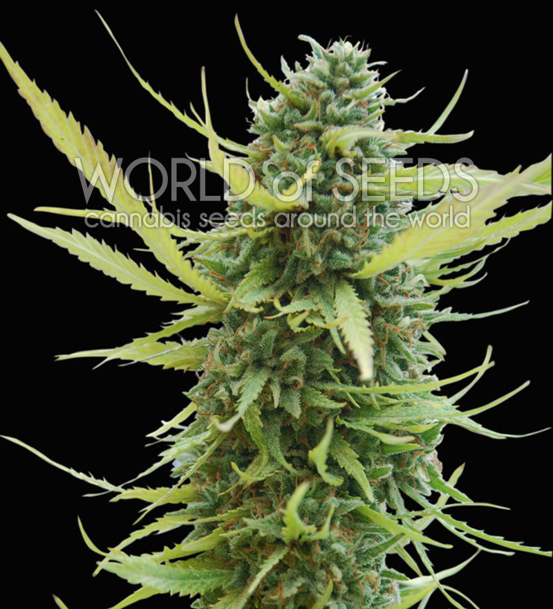 Colombian Gold Marijuana Seeds