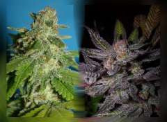 Grandoggy Purps Marijuana Seeds