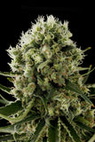 Critical Jack  Marijuana Seeds