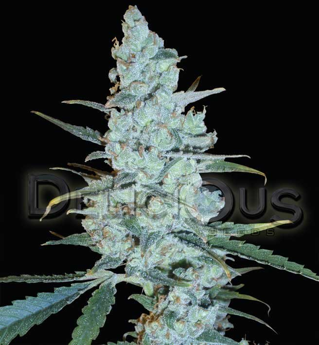 Critical Jack Herer Marijuana Seeds