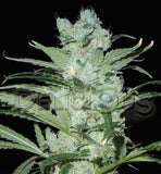 Critical Neville Haze Marijuana Seeds