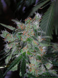 60 Day Lemon Auto Marijuana Seeds