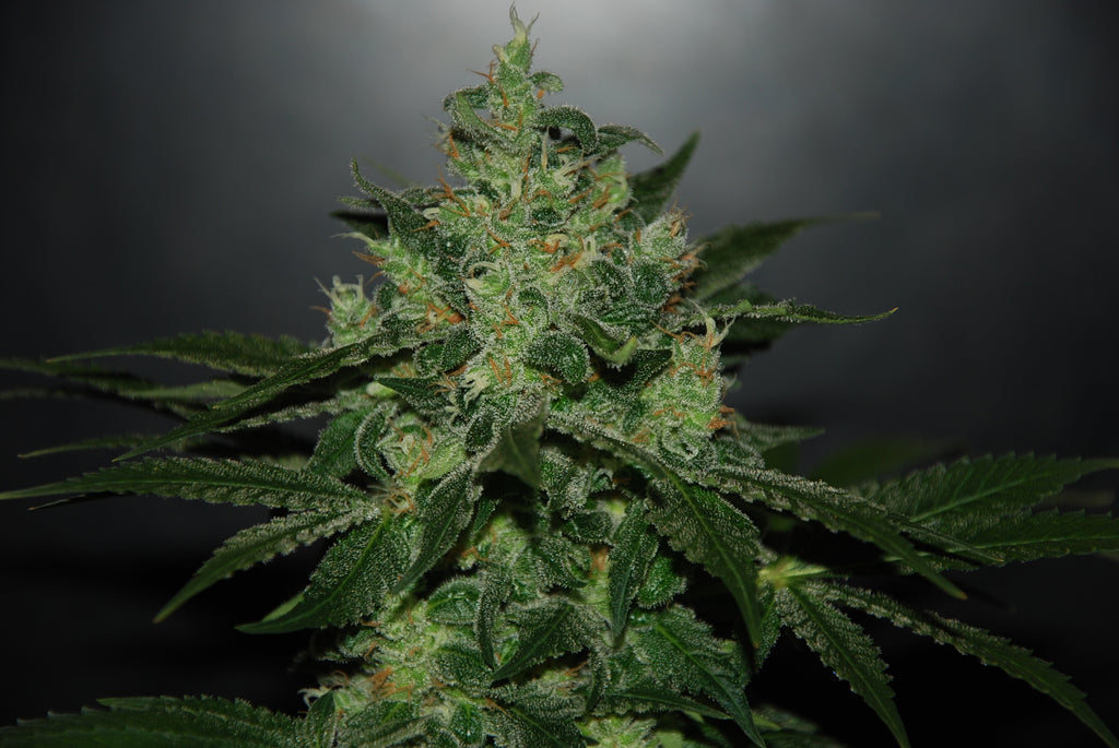 Critical Jack Herer Automatic