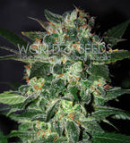 Domina Star Marijuana Seeds