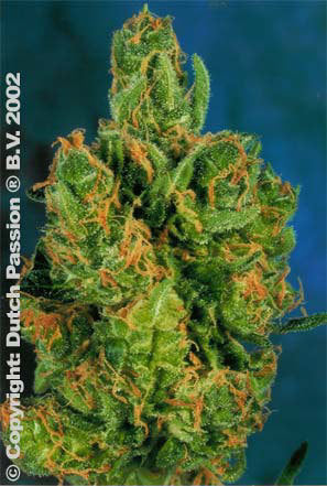 Dream Weaver Marijuana Seeds