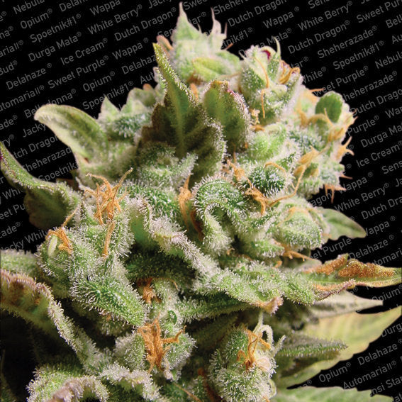 Dutch Dragon Marijuana Seeds