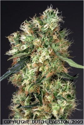 Dutch Haze Marijuana Seeds