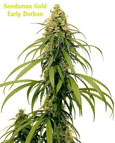 Early Durban Marijuana Seeds