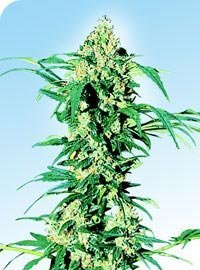 Early Girl Marijuana Seeds