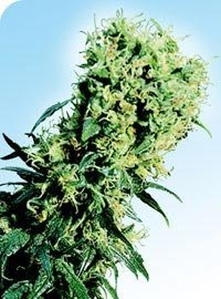 Early Pearl Marijuana Seeds