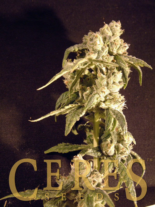 Easy Rider Marijuana Seeds