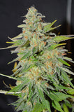 S.A.S (South African Sativa)