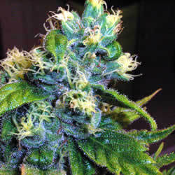 Genie of the Lamp Marijuana Seeds