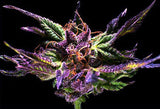 GrandDaddy Purp Marijuana Seeds
