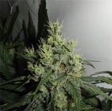 Big Jack Marijuana Seeds