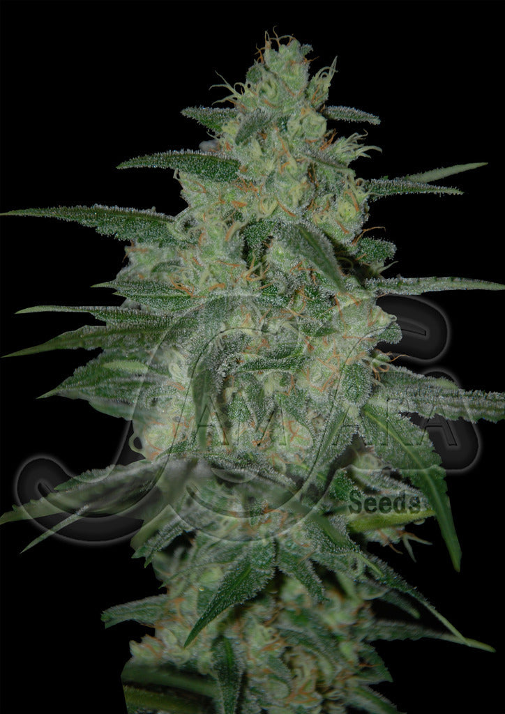 Holy Grail 69 Marijuana Seeds