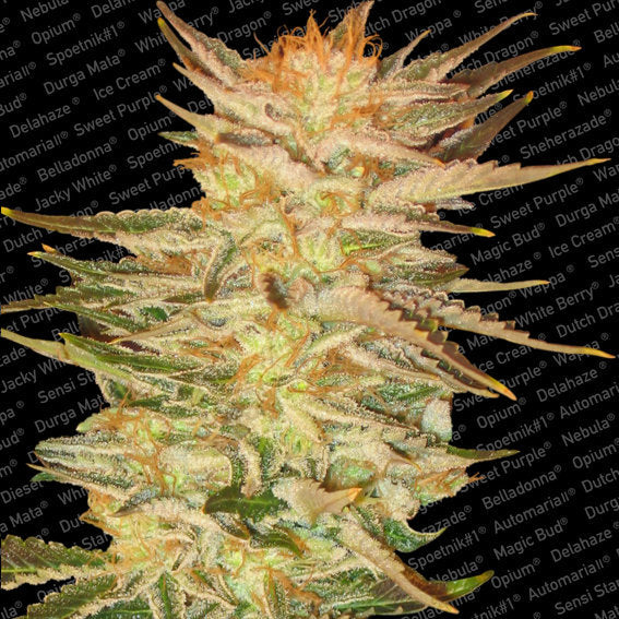 Ice Cream Marijuana Seeds