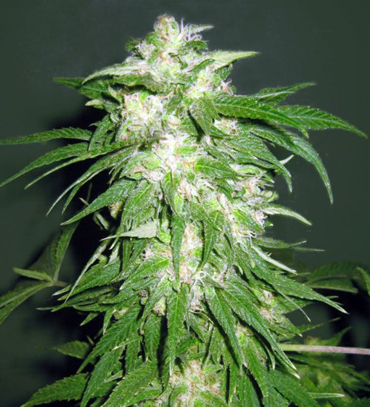 Ice Kush Marijuana Seeds