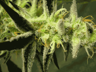 Jack The Ripper Marijuana Seeds