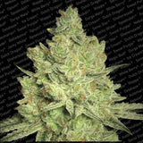 Jacky White Marijuana Seeds
