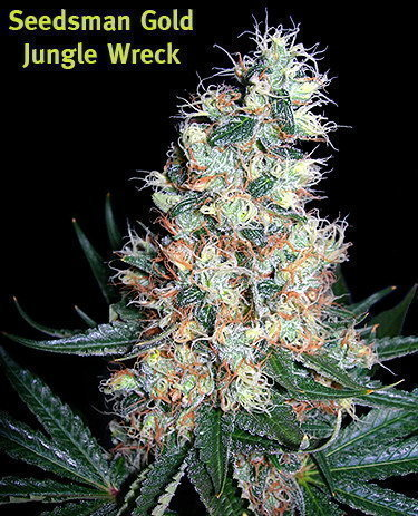 Jungle Wreck Marijuana Seeds